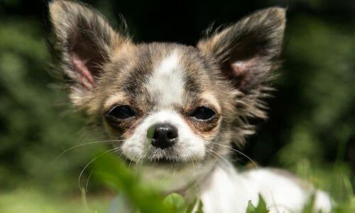 小型犬の犬年齢早見表(トイプードルなど)