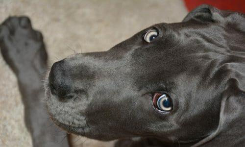 超大型犬の犬年齢早見表(セント・バーナードなど)