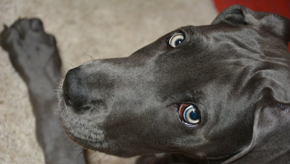 超大型犬の犬種一覧