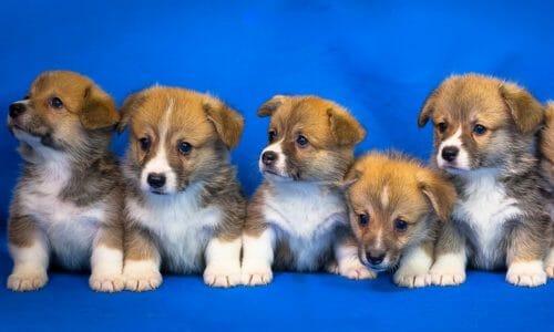中型犬の犬年齢早見表(柴犬、ビーグルなど)