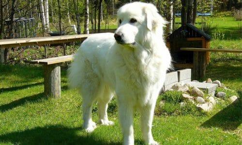 超大型犬の人気犬種ランキング2019年版