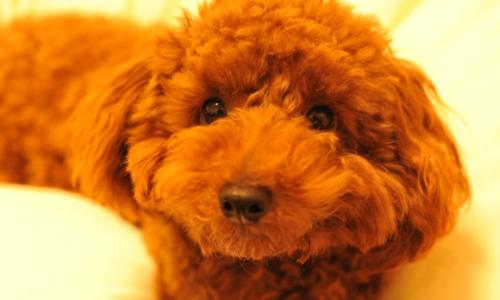 超小型犬・小型犬の人気犬種ランキング2019年版